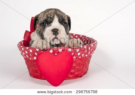 Cute English Bulldog Puppy With Heart On A White Background