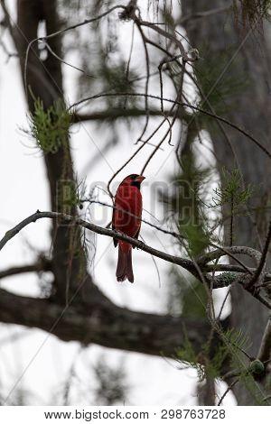Male Red Northern Cardinal Bird Cardinalis Cardinalis Perches On A Tree In Naples, Florida