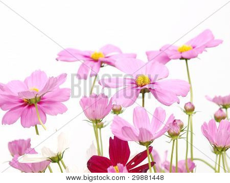 Pink Flower Of Cosmos Isolated On White Background