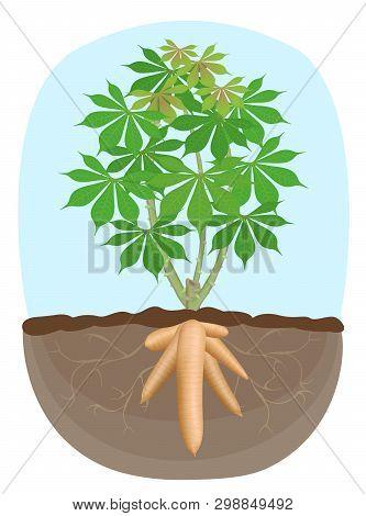 Cassava Tree Plant, Tapioca Underground Root, Cassava Rhizomes Isolated On White Background, Manioc