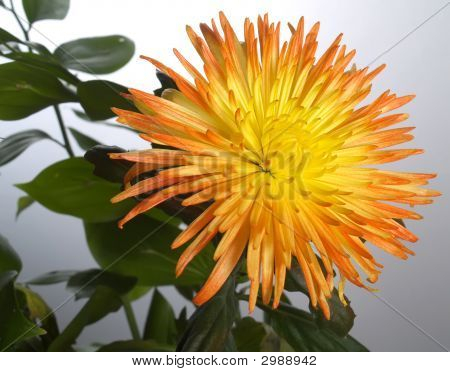 Yellow Aster