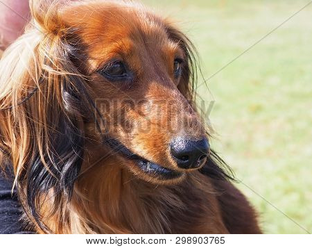 Long Haired Brown Dachshund Outdoors In Spring