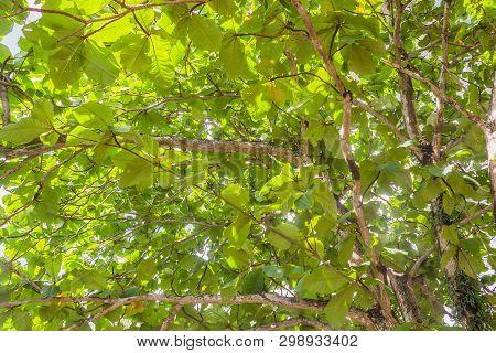 Fully Terminalia Catappa Green Leaves Nature Background