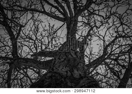 Bottom View Of Leafless Tree. Looking Up View Of Dead Tree. Silhouette Dead Tree On Dark Dramatic Sk