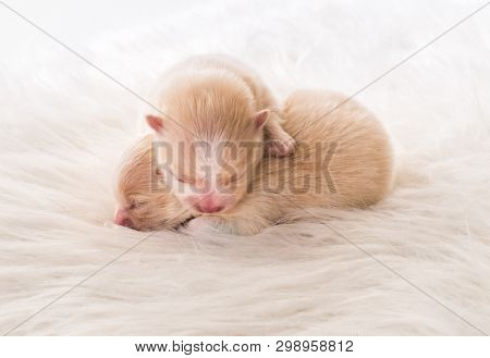 Little cute chihuahua breed puppies together on gray coverlet