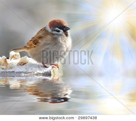 Fatty House Sparrow ( Passer domesticus ) on a full bird table over a garden pond.