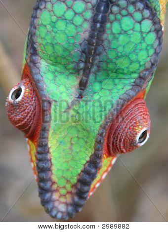 Panther Chameleon männlich neugierige Mafana/Mitsio