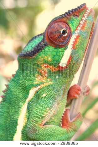 Nosy Mafana/ Mitsio Panther Chameleon