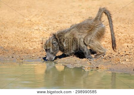 Chacma baboon (Papio ursinus) drinking water, Mkuze game reserve, South Africa