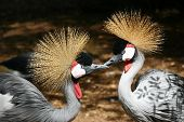 Pair of Grey Crowned Cranes in a zoo poster
