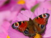 European Peacock butterfly (Inachis io) on cosmos flower poster
