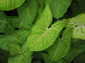 Close up arrowhead vine plant. Tropical green leaves for natural textured and background. poster
