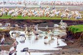 Flocks of birds on Lake Nakuru - one of the lakes of the East African rift valley. Wild nature. Kenya. poster