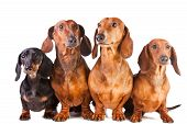Portrait of four Dachshund Dogs sitting on isolated white background poster