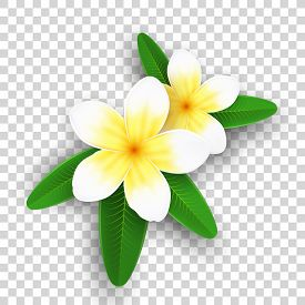 Plumeria Flowers Isolated On Transparent Background. Realistic Tropical Flowers. Set Of Plants. Summ