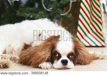 Sleeping Dog Breed Cavalier King Charles Spaniel On The Background Of New Year Holiday Decorations