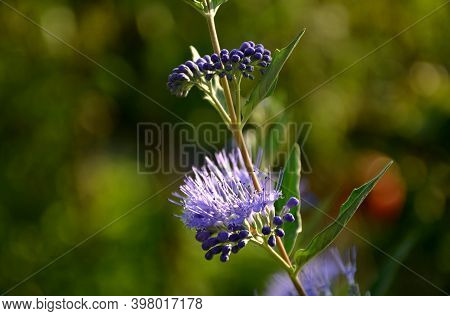 It Is A Lower Woody Shrub That Offers Late Summer Flowering Of Deep Blue-violet Color. The Heavenly