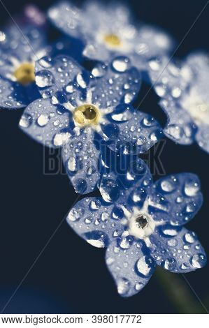 Toned Vertical Backdrop With Extremely Macro View Of Forget-me-not Flowers. Botanical Floral Bacgrou