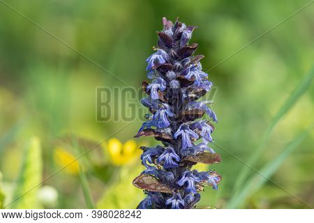 Close Up Of A Bugle (ajuga Reptans) Flower In Bloom
