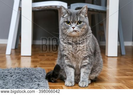 A British Cat Is Sitting On The Floor And Looking A Bit Sceptic Or Grumpy.