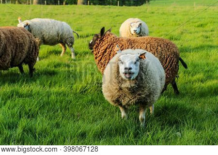 A Sheep In A Flock Is Standing On The Meadow And Looking At You And Makes Baa.. She Looks Quite Stup