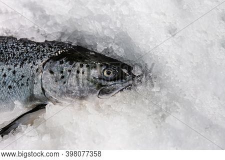 The Head Of A Fresh Salmon On Ice At A Fish Market.close-up. Sale Of Freshly Caught Fish.