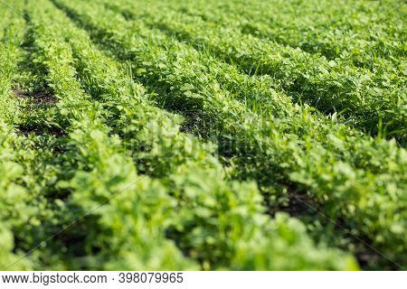 Green Manure Field. Covering Crops.
