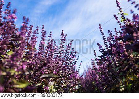 Blooming Purple Basil. Basil Field Against The Sky.