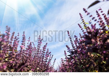 Blooming Purple Basil. Basil Field With Blue Sky On Background.