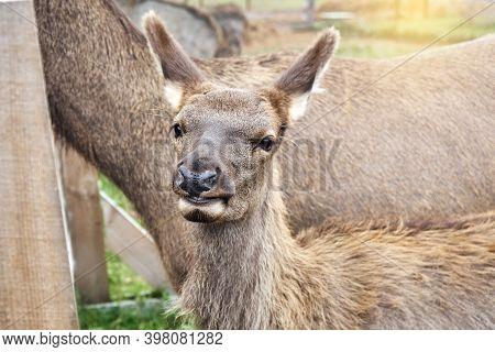 Noble Deer. Young Female Red Deer On A Reindeer Farm