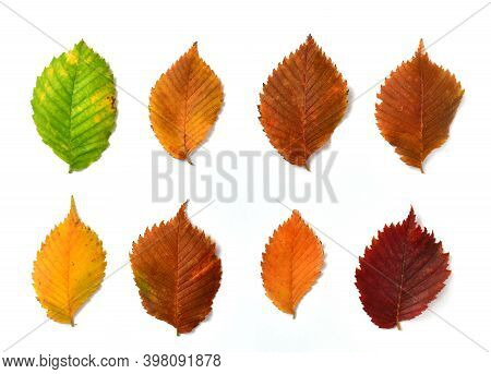 Autumn Elm Leaves On A White Background