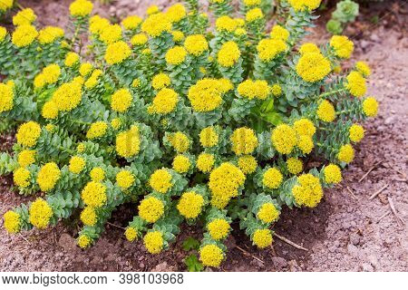 Blossoming Yellow Rhodiola Rosea Or Golden Root, Medicinal Plant