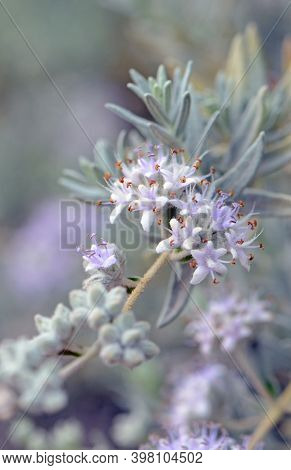 Purple Flowers And Gray Foliage Of The Australian Native Shrub Dicrastylis Lewellinii, Family Lamiac