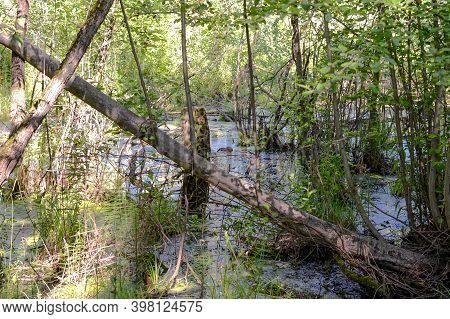 Swamp Marsh And Muskrat In The Forest