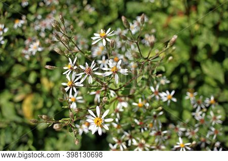 Eurybia Macrophylla, Commonly Called Large-leaved Aster Or Big-leaved Aster, Is Noted For Its Large