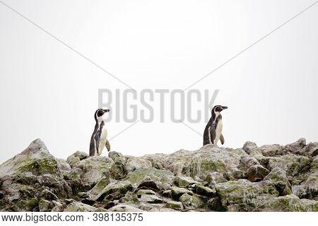 Two Humboldt Penguins (spheniscus Humboldti) On Rocks. Ballestas Islands, Paracas, Peru