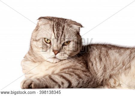 Beautiful Portrait Of Scottish Fold Cat Breed Fold On White Isolated Background. Cute Young Silver-g