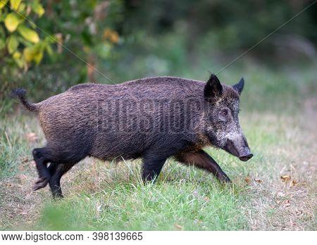 Wild Boar (sus Scrofa Ferus) Walking On Meadow In Forest In Summer Time. Wildlife In Natural Habitat