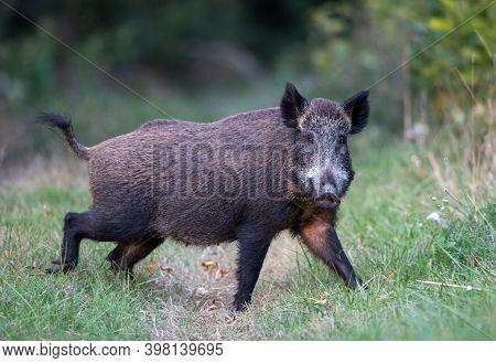 Wild Boar (sus Scrofa Ferus) Standing On Meadow In Forest In Summer Time. Wildlife In Natural Habita
