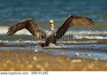 Brown Pelican - Pelecanus Occidentalis Big Bird Of The Pelican Family, Pelecanidae, Feed And Hunt By