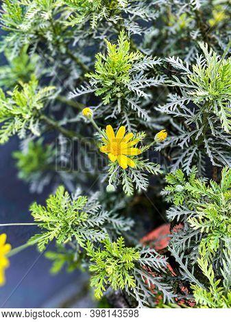 Golden Marguerite, Anthemis Tinctoria Flower, Yellow Flowers,daisy