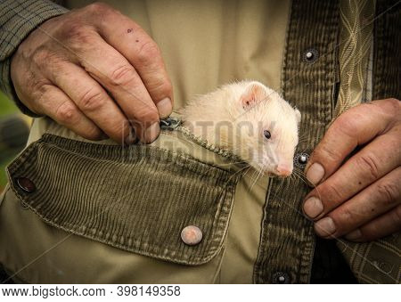 White Ferret In A Green Jacket Pocket With His Master