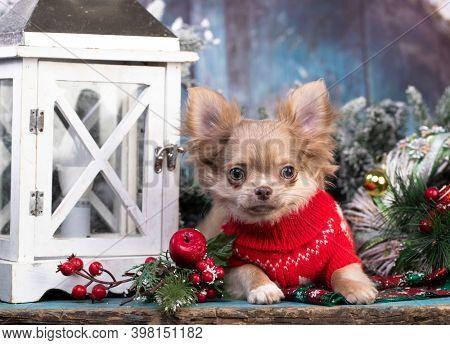 Puppy chihuahua hua,  New Year's puppy, Christmas dog