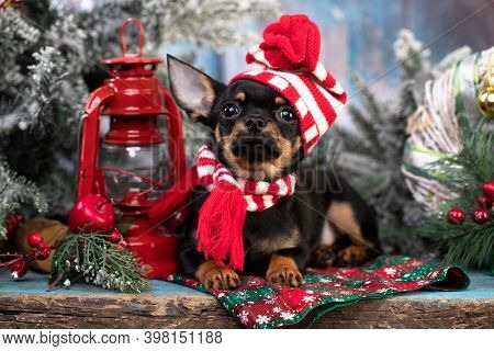Puppy chihuahua hua in hat; New Year's puppy; Christmas dog