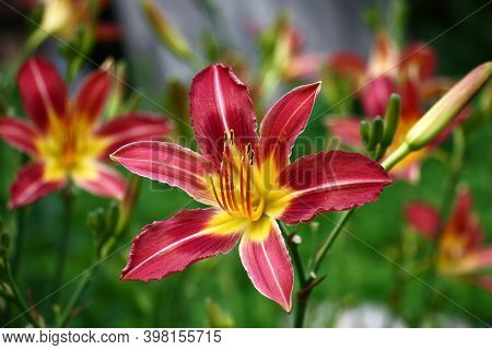 Fresh Beautiful Flower Of A Hemerocallis With Bright Purple-yellow Petals Against The Background Of