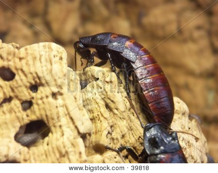 Giant Cockroaches