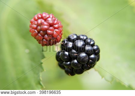 Photography From Whole Ripe Berry Black, Red Blackberry In Nature Closeup. Blackberry Photo Consisti