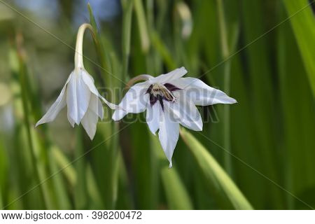 Abyssinian Gladiolus Flowers - Latin Name - Gladiolus Murielae