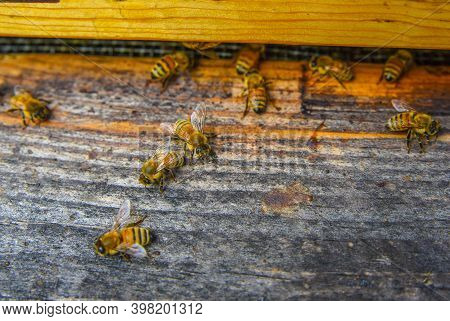 The Bees At Front Hive Entrance Macro Close Up. Bee Flying To Hive. Honey Bee Entering The Hive. Hiv