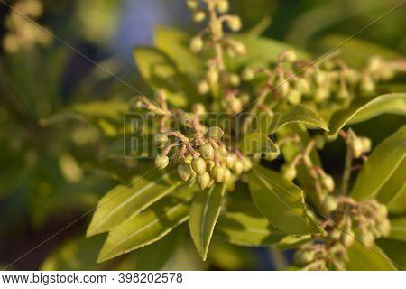 Japanese Pieris Purity Flower Buds - Latin Name - Pieris Japonica Purity